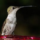 A Sharp Tongued Hummer by Dennis Jones - CameraView