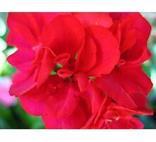 Sweet & Spicy Geranium Photographic Print