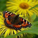 Butterfly on yellow flower by Woodie