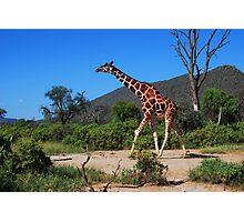 Reticulated Giraffe - Samburu Photographic Print