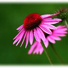 Purple Cone Flower by Michael Rubin