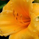 Stella d'oro Lily by kkphoto1