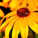 Golden Daisy  by kkphoto1