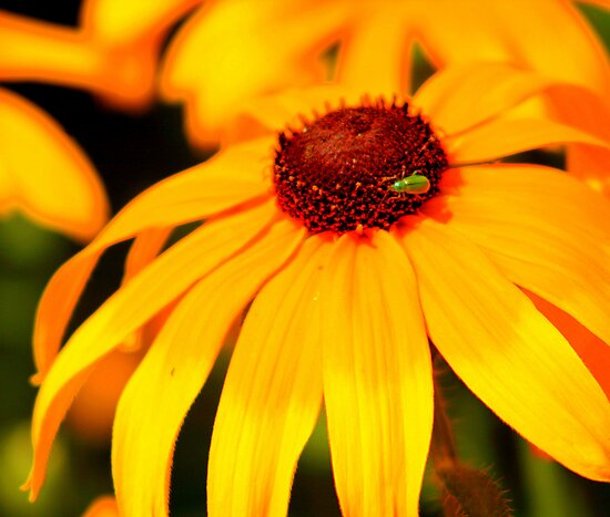 Golden Daisy  by kkphoto1