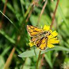 42914 orange butterfly by pcfyi