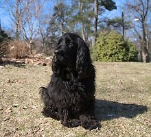 Adorable Field Spaniel