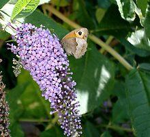 Butterfly on butterfly bush by NowhereMan
