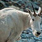 Mountain Goat by Kerri Gallagher