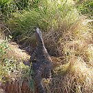 Giant Lace Monitor, Port Macquarie N.S.W. by Rita Blom