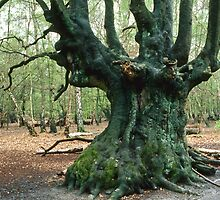 Coppiced Beech, UK by Gary Rayner