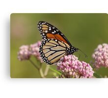 Monarch on Milkweed Canvas Print