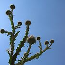 Thistles Glory by Hans Bax