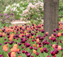 Tulips in Lilac Park Sticker