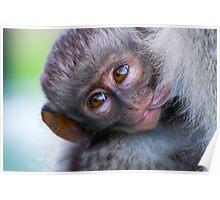 Baby Vervet monkey Poster