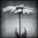 B&W daisy by Barbara  Corvino