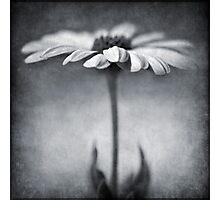 B&W daisy Photographic Print
