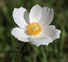 Snowdrop Anemone (Anemone sylvestris) by Zosimus