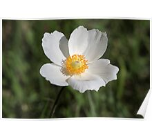 Snowdrop Anemone (Anemone sylvestris) Poster