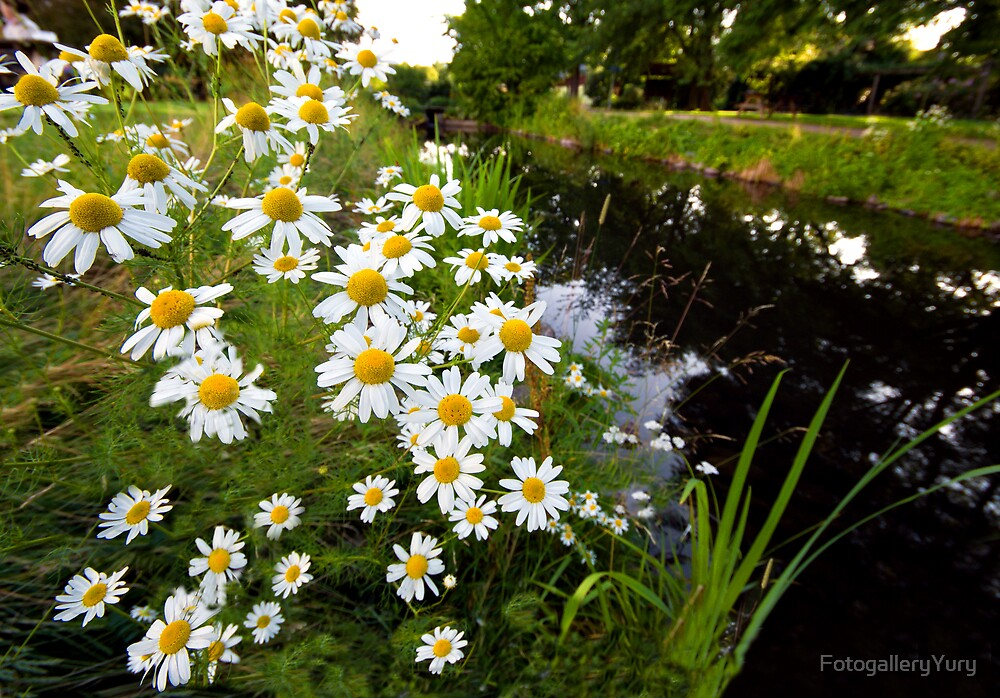 Camomiles in the park. by FotogalleryYury