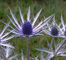 Cultivated Thistles by LumixFZ28