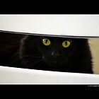 Felis Catus - Black Female Turkish Angora Cat Hiding Behind White Chair by © Sophie W. Smith