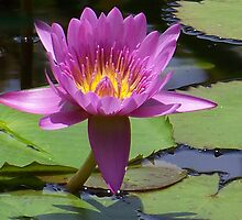 Pink Lotus Blossom by Caren