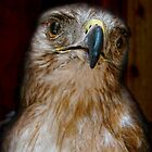 Hawk by James  Birkbeck Animals