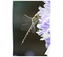 Dragonfly on Agapanthus Poster