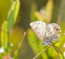 Fringed Heath Blue Butterfly by NaturalCultural