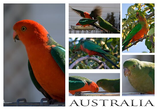 King Parrot Postcard by Deborah McGrath