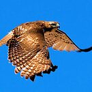 0404092 Red Tailed Hawk by Marvin Collins