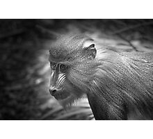 Baby Baboon Photographic Print
