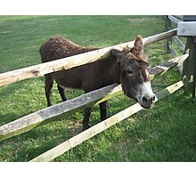 Young Donkey Photographic Print