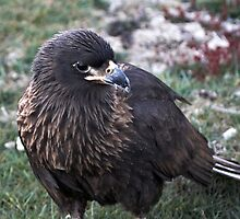 Striated Caracara ~ one of the worlds rarest raptors by Robert Elliott