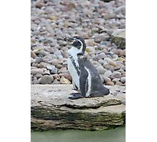 ppp-penguin Photographic Print