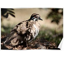 A Squatter pigeon Poster