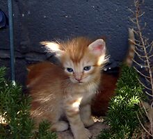 Orange Tabby Kitten by down23