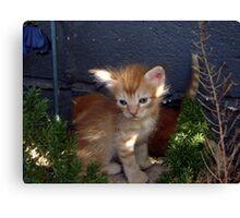 Orange Tabby Kitten Canvas Print
