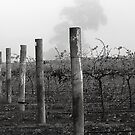 Foggy Vineyard by Eve Parry