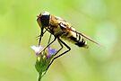 Bee Fly 1 by ©Dawne M. Dunton