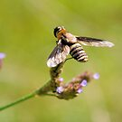 Bee Fly 2 by ©Dawne M. Dunton