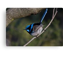Male Black-Backed Splendid Fairy-Wren Canvas Print