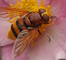 Hornet Mimic Hoverfly by Robert Abraham