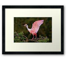 Roseate Spoonbill at Jefferson Island Framed Print