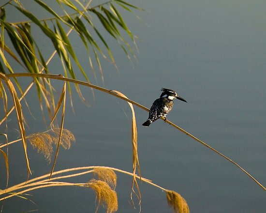 Pied Fisher In Iraq by Timothy L. Gernert