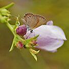Desert Blue and Ermophila Bud by robynart