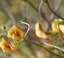 Yellow and Red Pea Flower,Coolgardie. West Australia by robynart