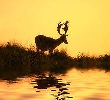 Fallow Deer (Dama dama) (1) by DutchLumix