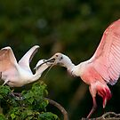 Roseate Spoonbills at Feeding Time by Bonnie T.  Barry