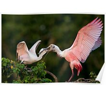 Roseate Spoonbills at Feeding Time Poster